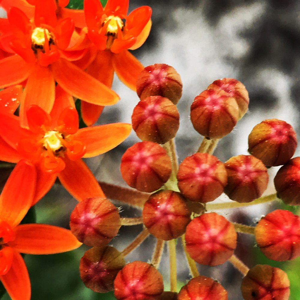 Asclepias tuberosa; Butterfly Weed