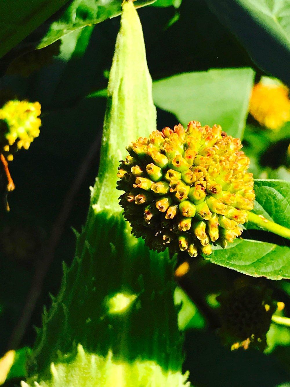Buttonbush and Milkweed Pod