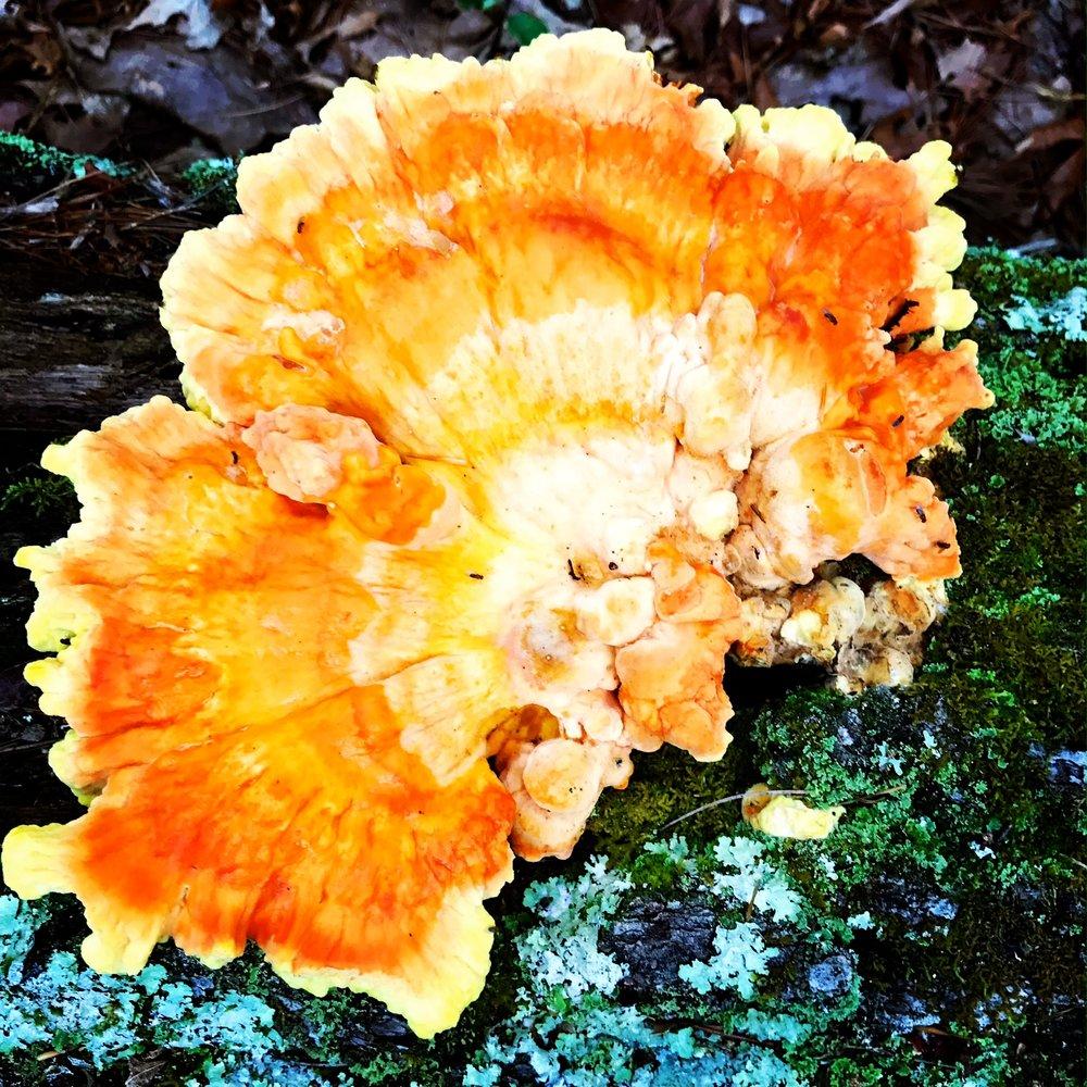 bright orange and yellow fungus.JPG
