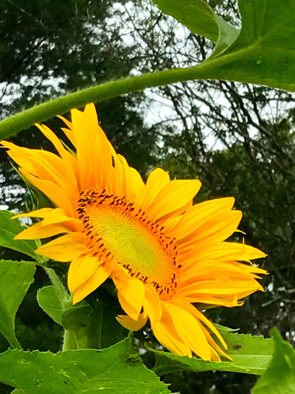 perris sunflower.jpg