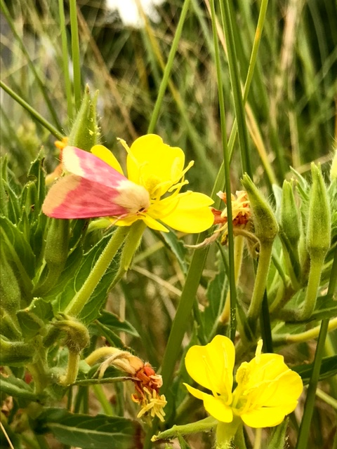 Primrose Moth, Evening Primrose in Bloom