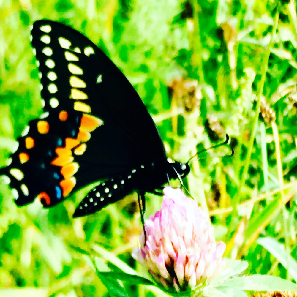 Eastern Black Swallowtail Butterfly on clover in the meadow this morning