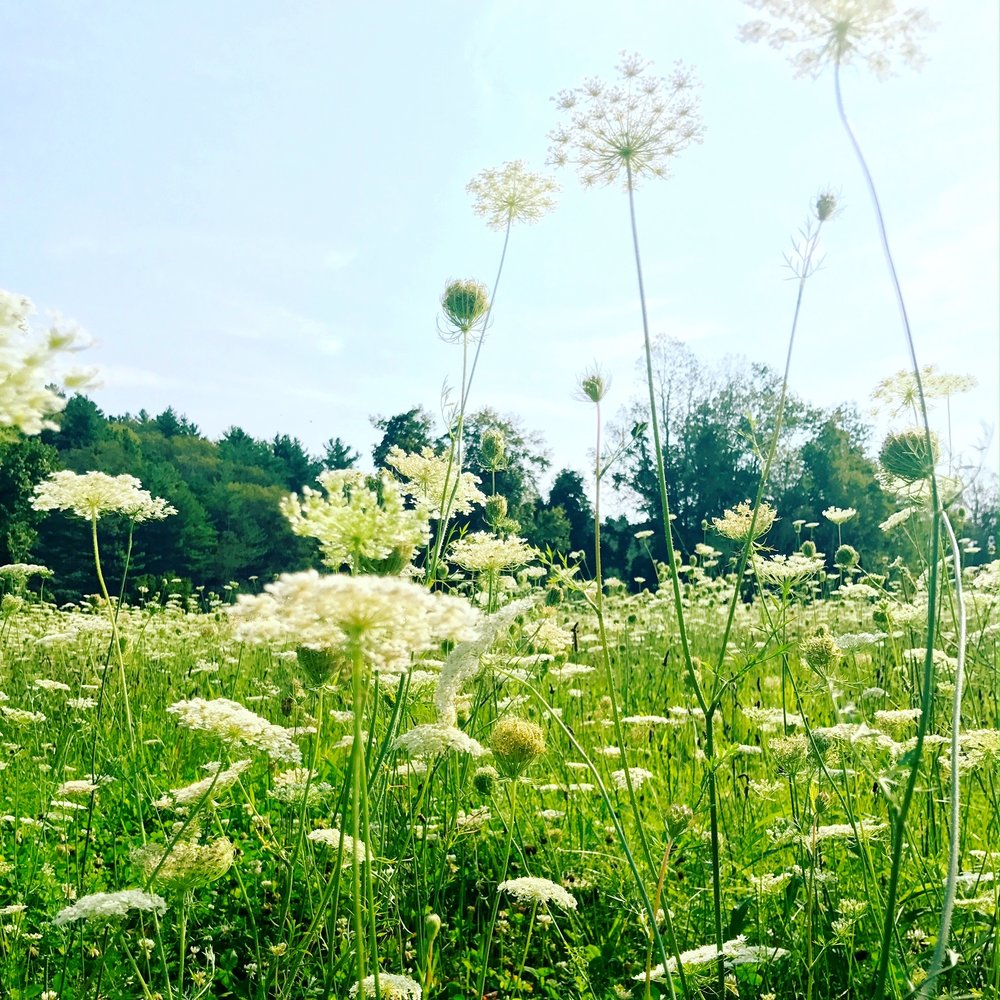 An entire un-mowed meadow of lace