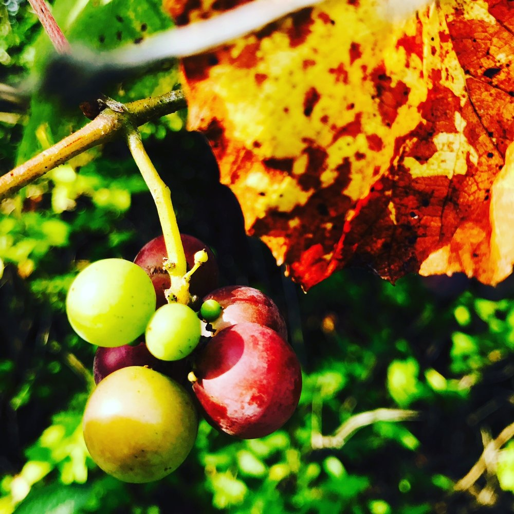Wild grapes ripening in the meadow
