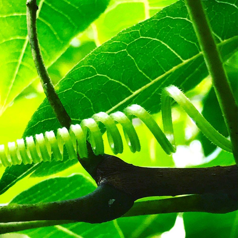 green vine.JPG