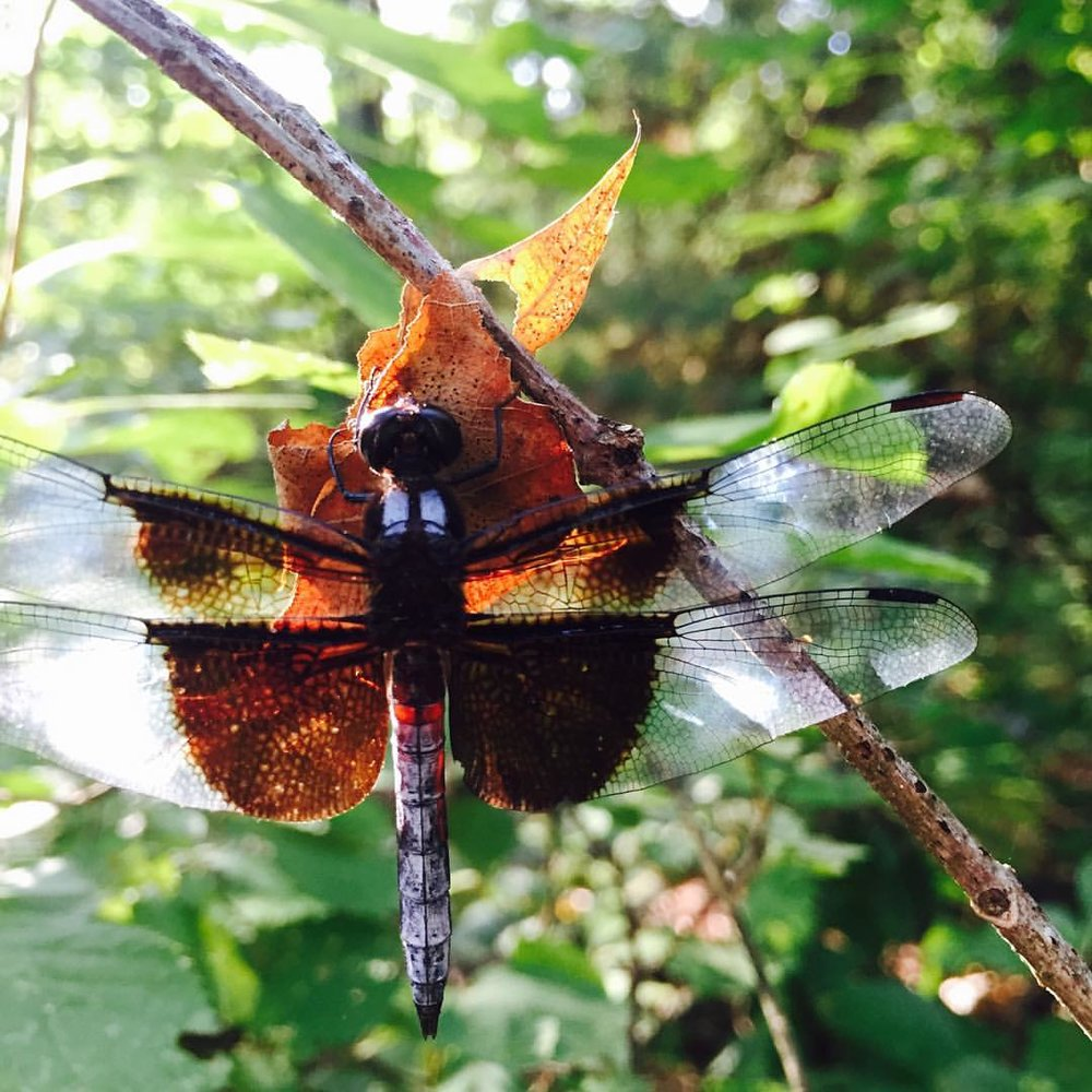 Widow Skimmer, Dragonfly