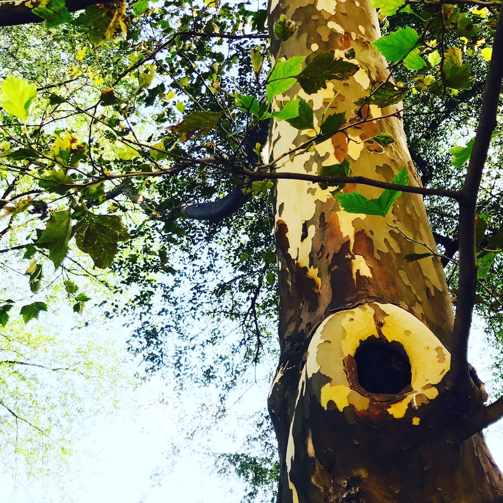 Sycamore Tree near Central Park