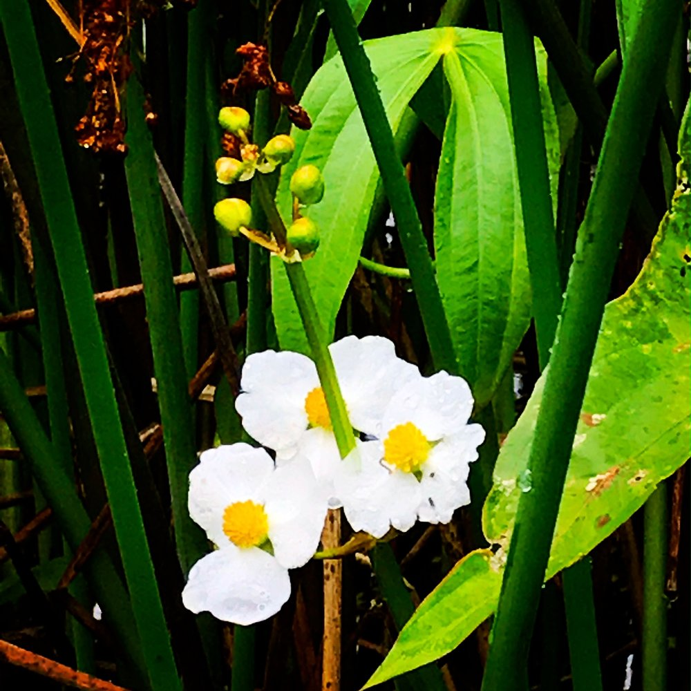 Common Arrowhead,  Sagittaria latifolia,   in the wetlands, Charles River