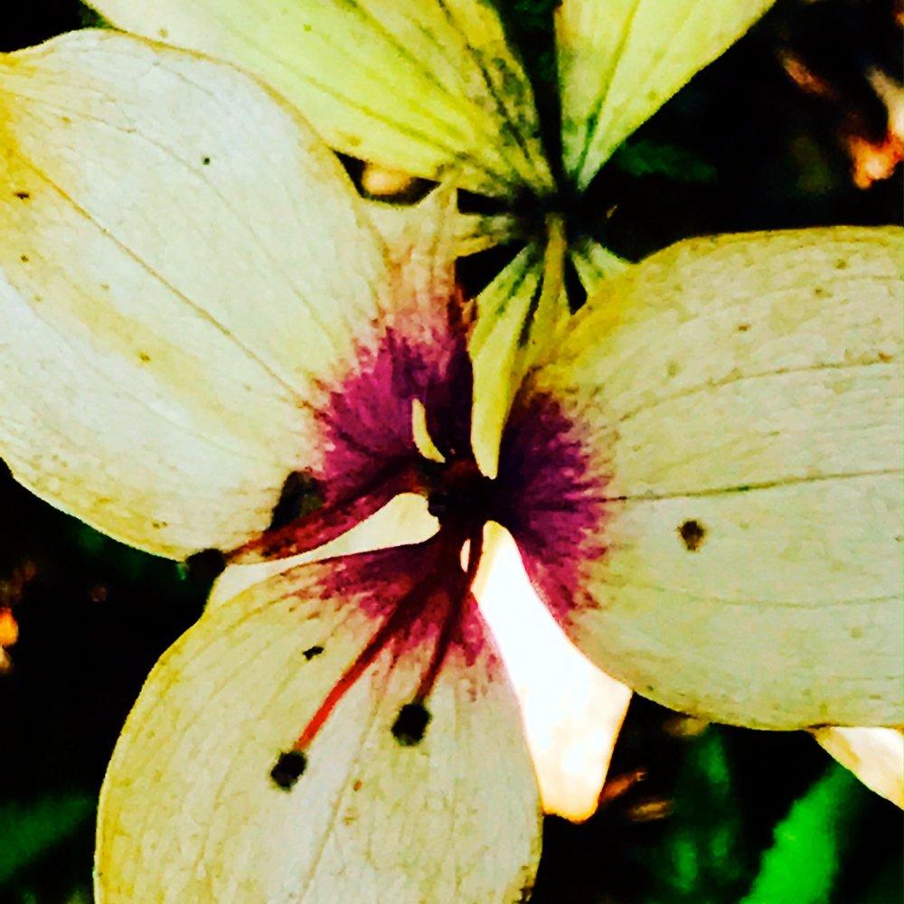 Cucumber Vine, Medeola virginiana L.
