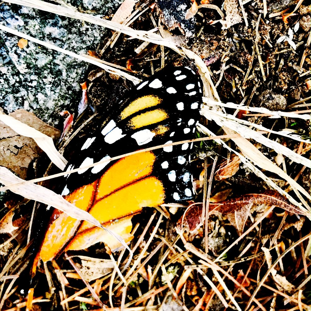 Monarch Butterfly Wing this morning