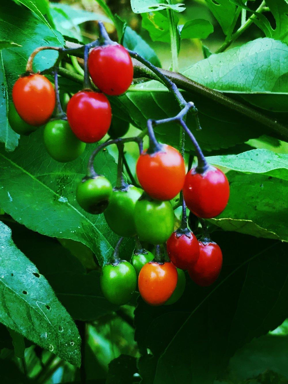 Solanum dulcamara, Bittersweet Nightshade