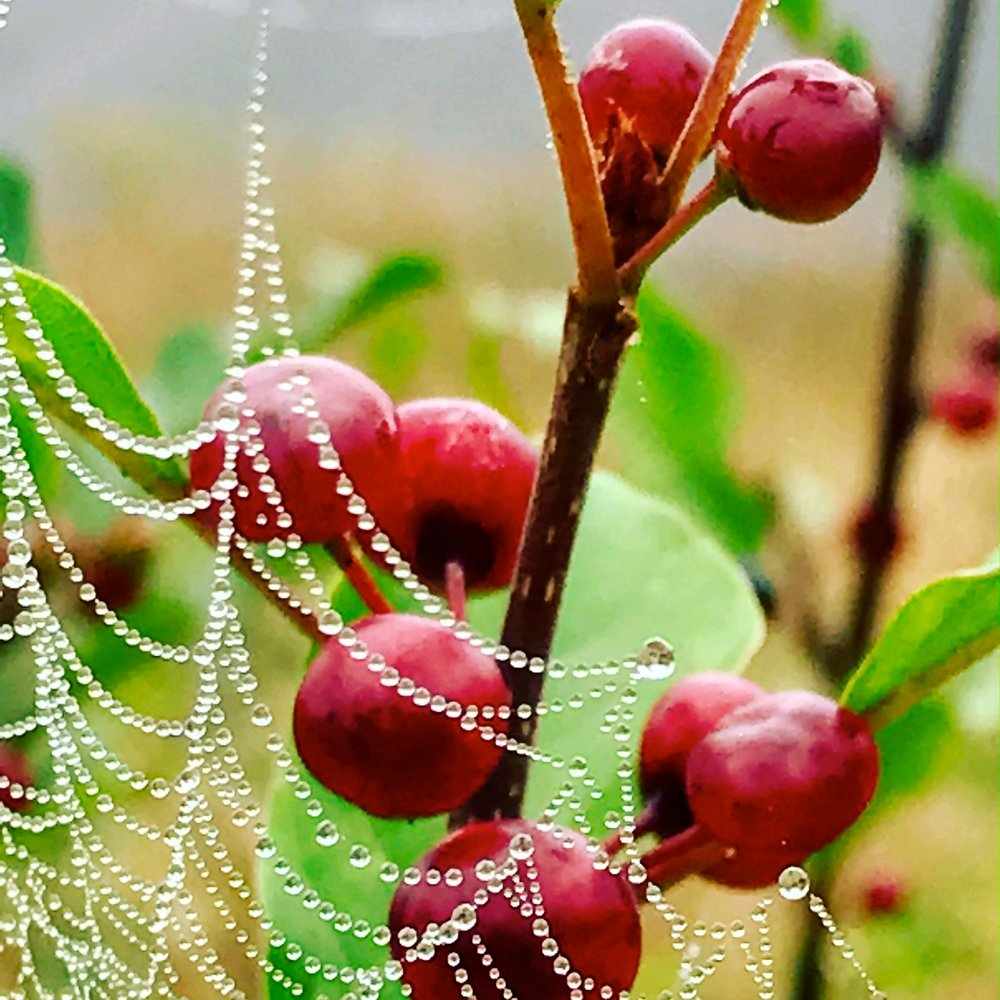 Berries in Morning Web