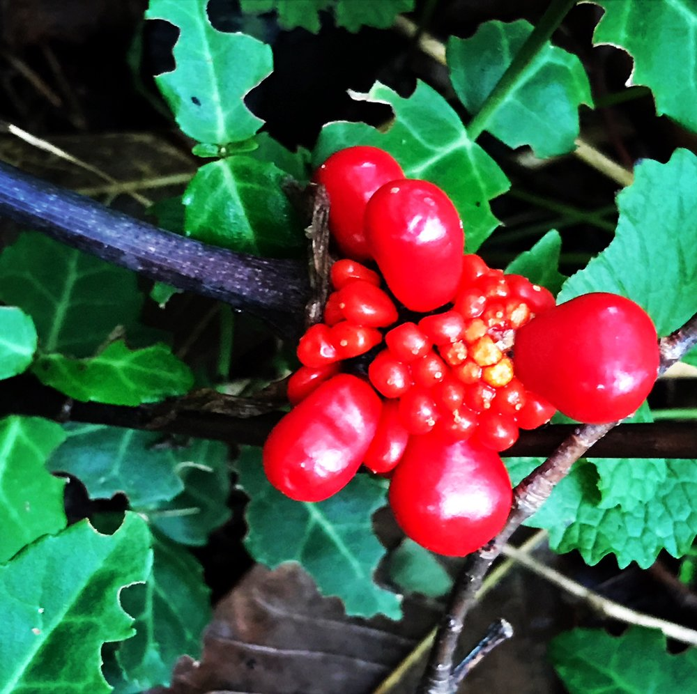 ginseng or jack in the pulpit.JPG