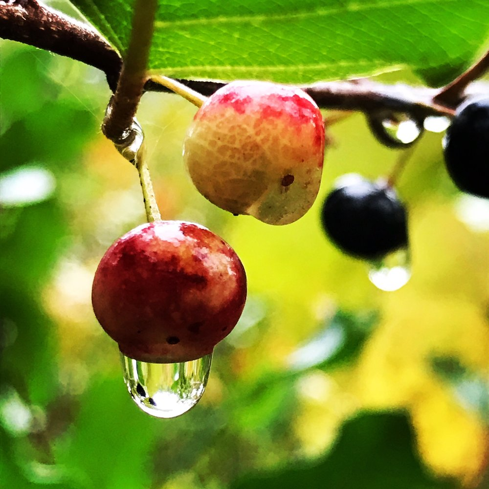 Rain Dropped Berries
