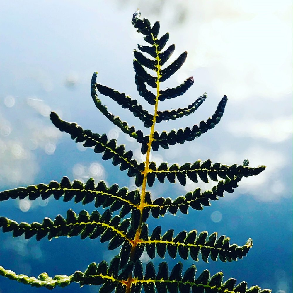 Fern at the Morning River