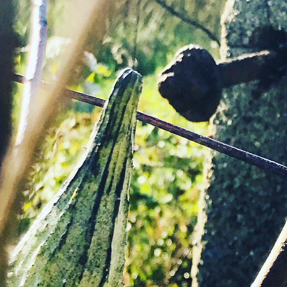 milkweed 2.JPG
