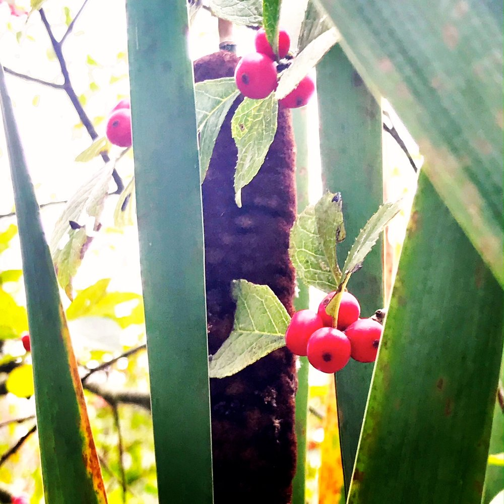 cattails berries.JPG