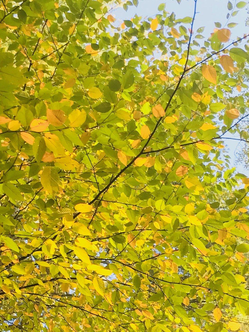 shower of October light under beech
