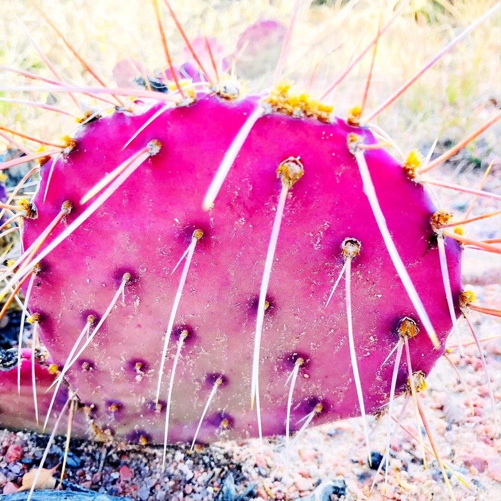 pink cactus.JPG