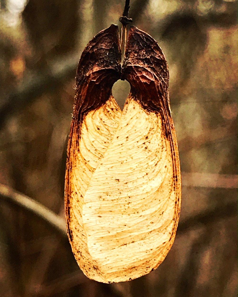 maple wing.JPG