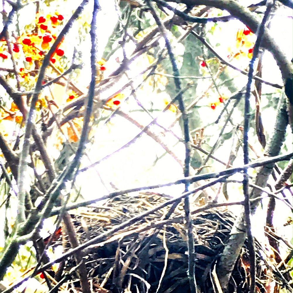nest bittersweet.JPG