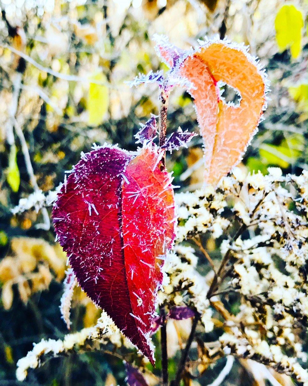 frost leaves.JPG