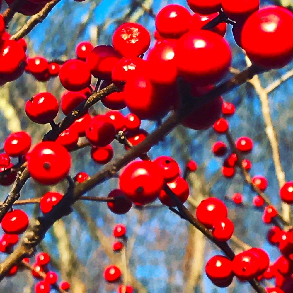 Berries, December Meadow