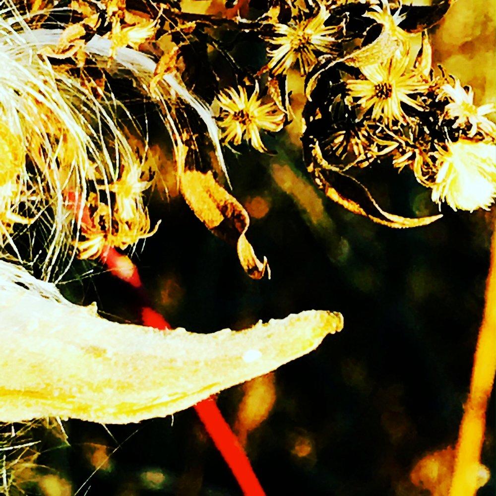 Milkweed, December Meadow