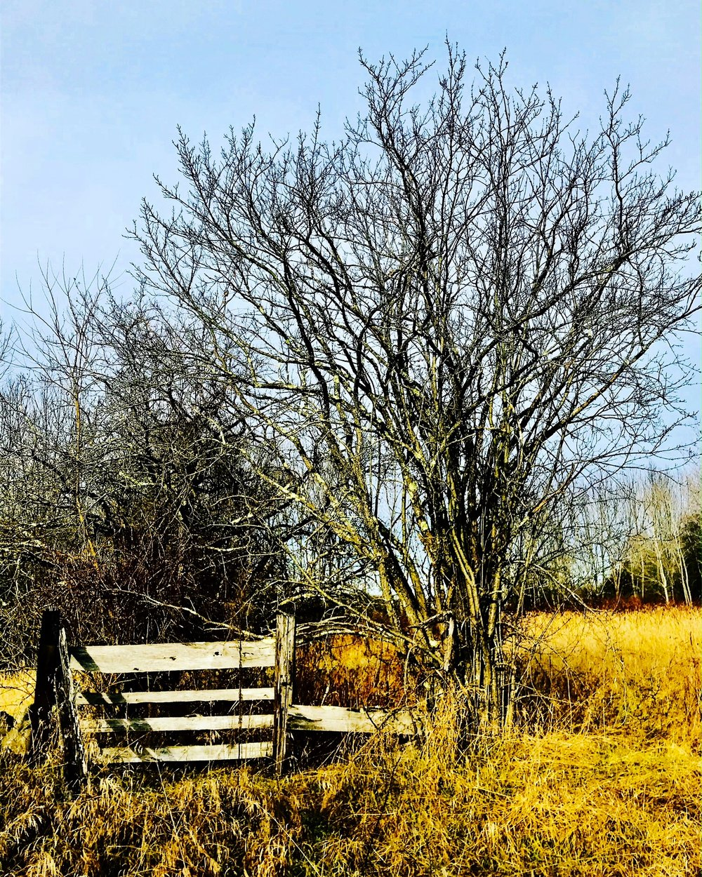 meadow fence tree.JPG