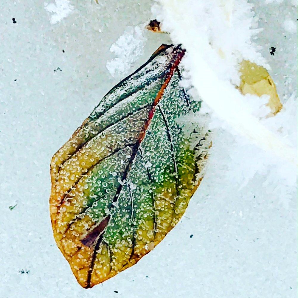 green leaf on snow.JPG