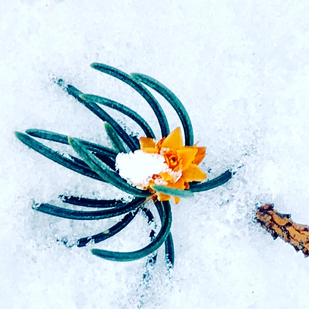 Conifer Branch with flower-like cone on snow