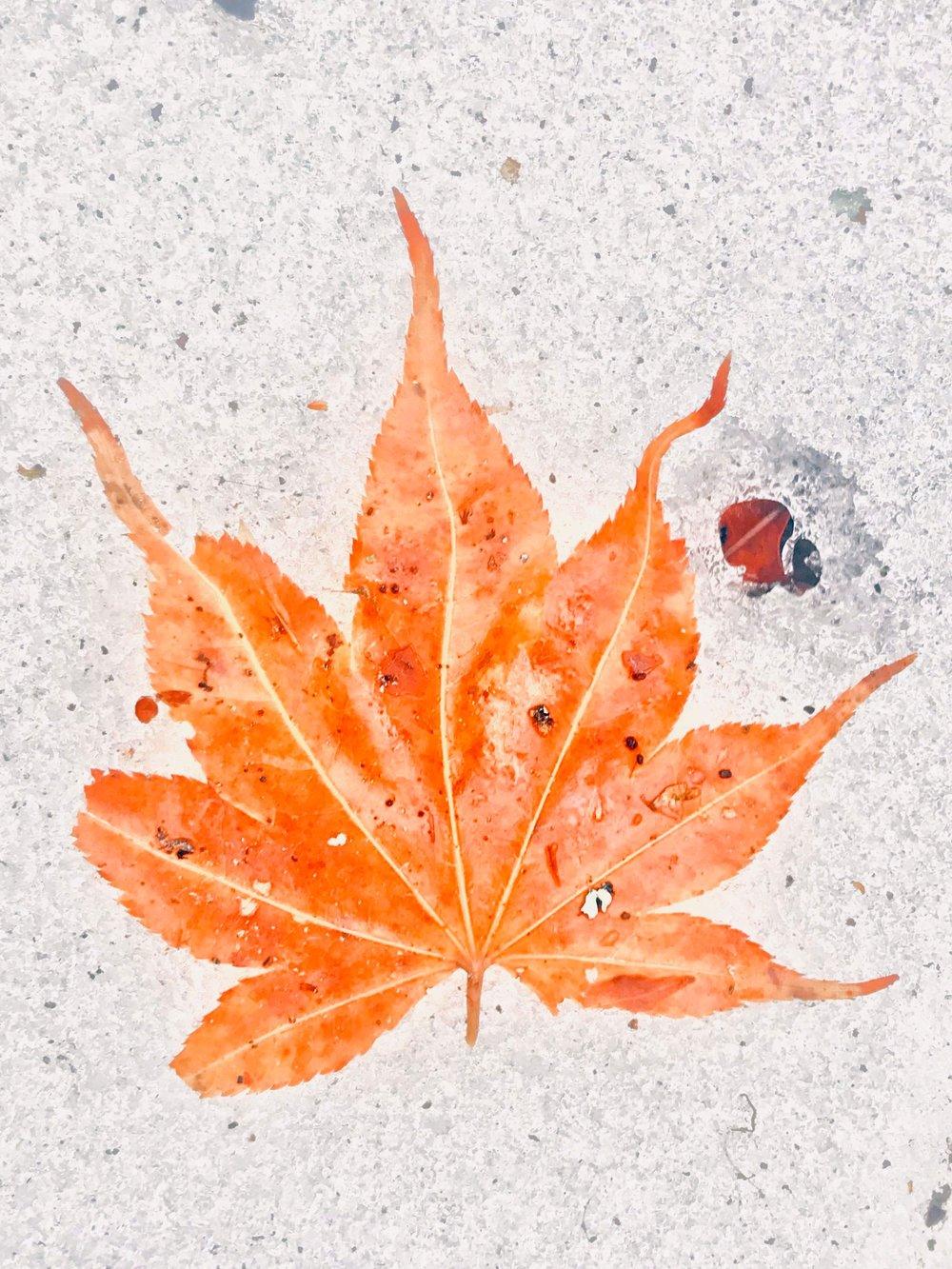 star leaf.jpg
