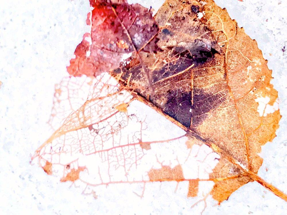 brown leaf decaying.JPG