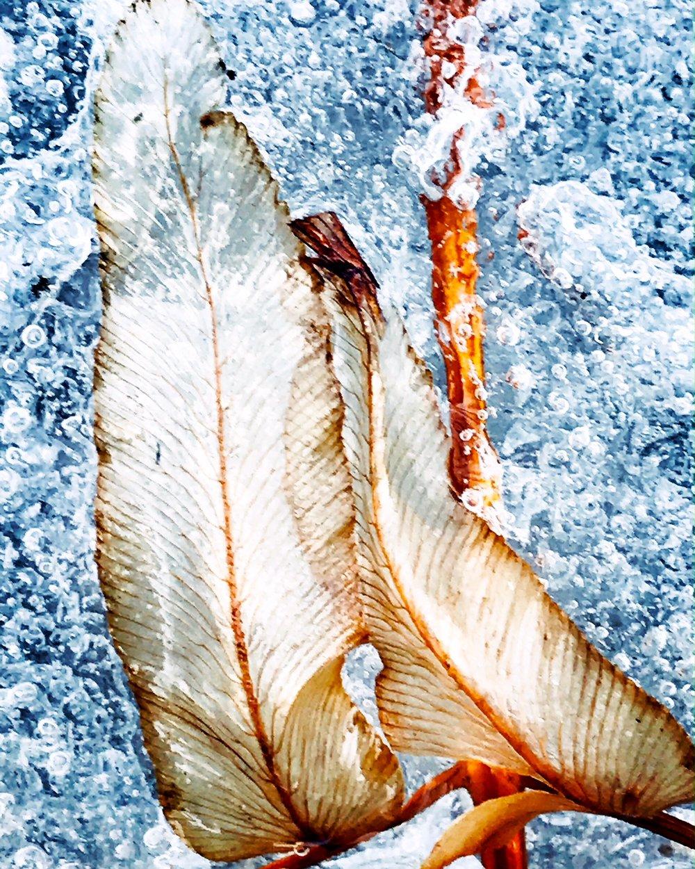 Leaf frozen in brook