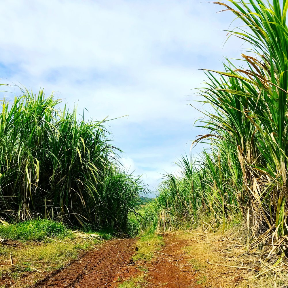 sugar cane path le robert.JPG
