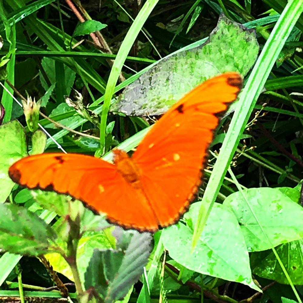orange butterfly martinique.JPG