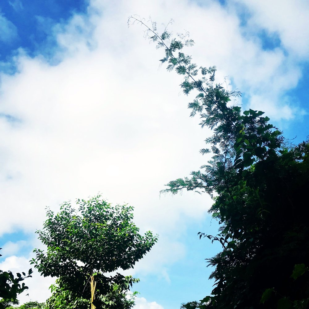 in the sugar cane Martinique.JPG