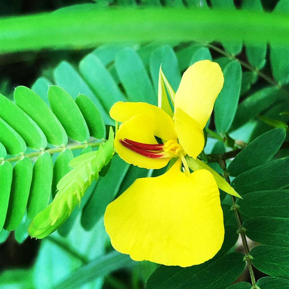yellow flower martinique.JPG