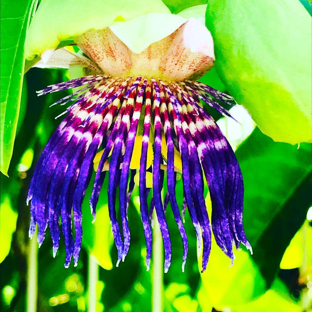 Passion Flower, Martinique