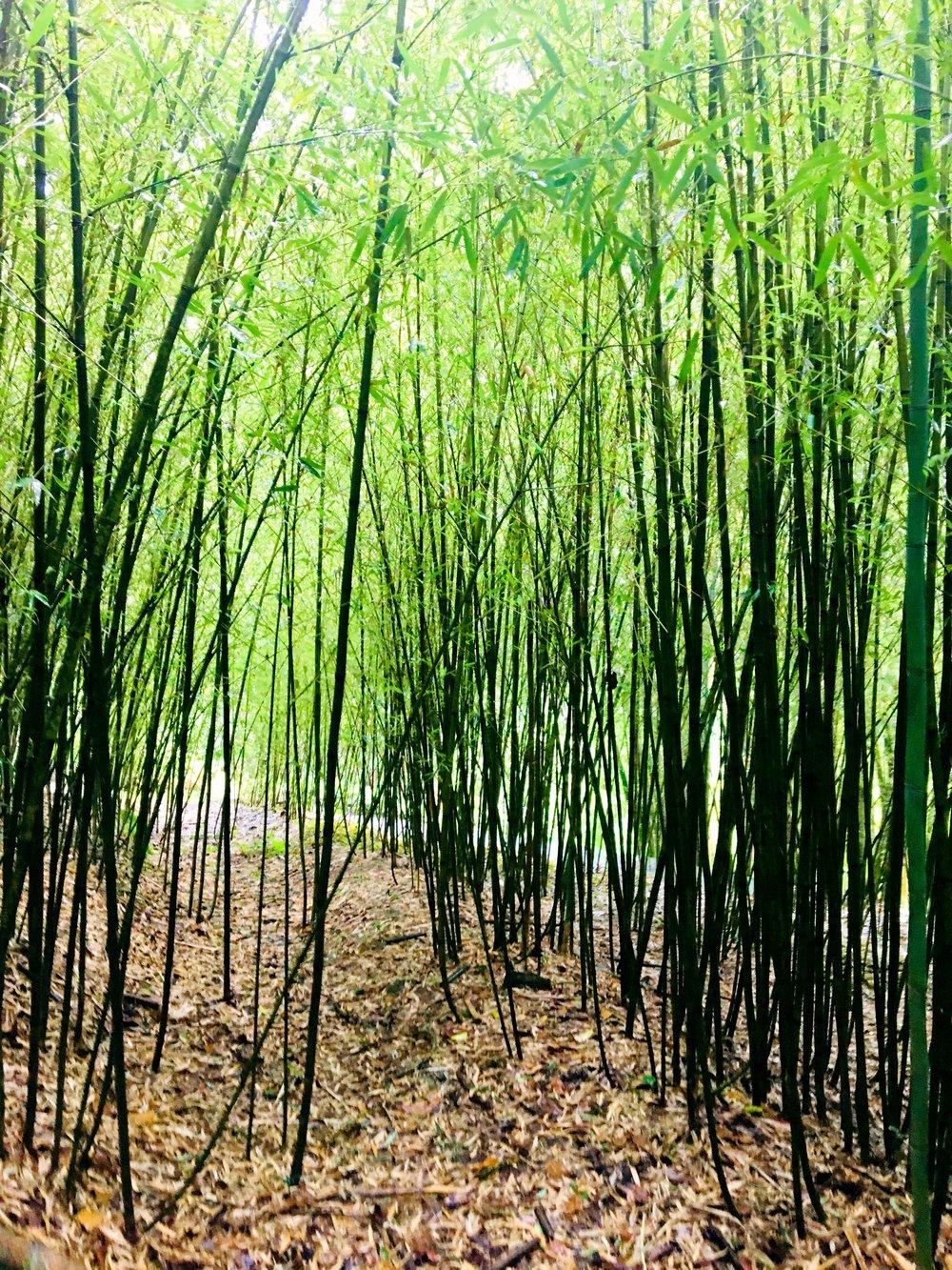 Bamboo small.jpg