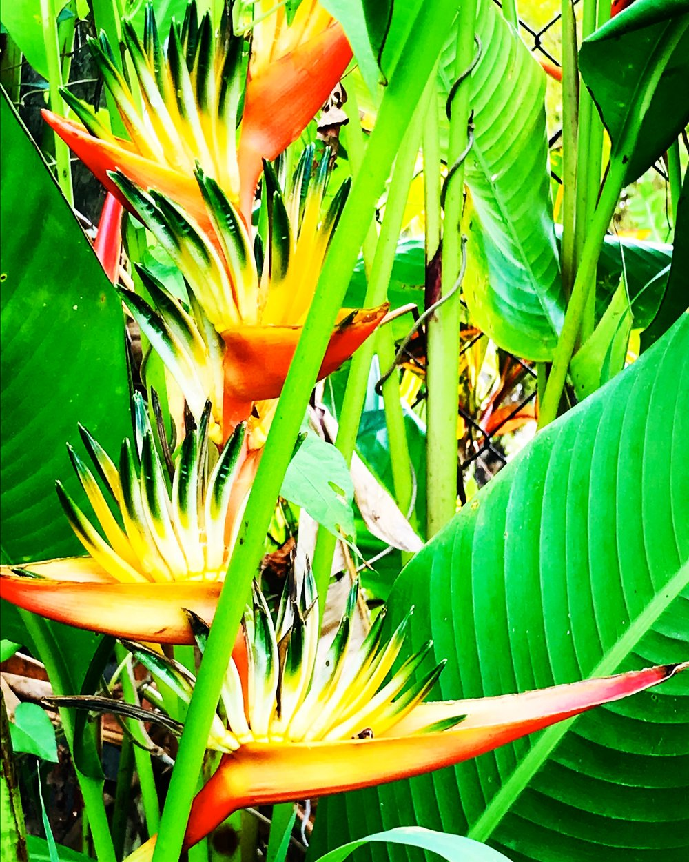 bird of paradise martinique.JPG