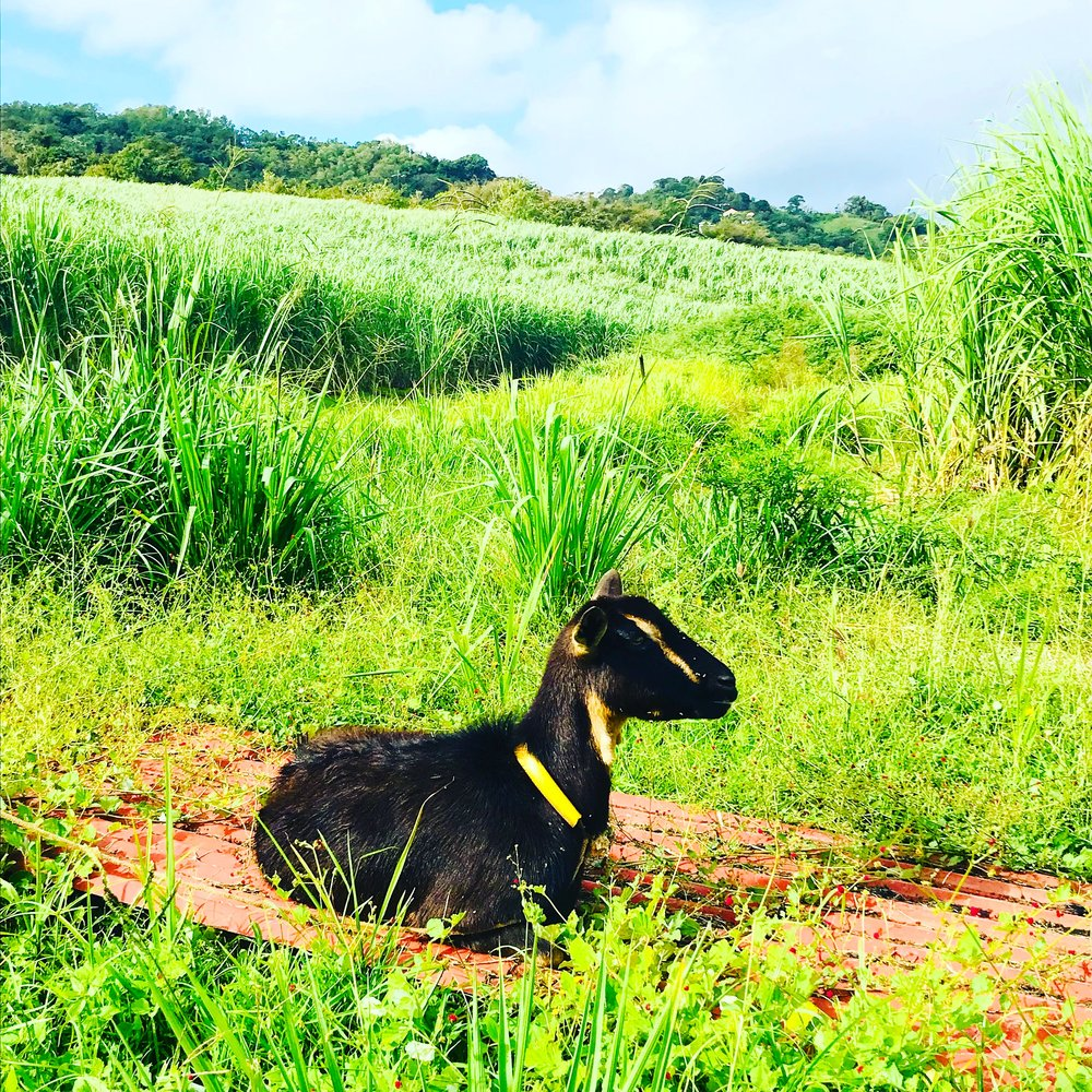 goat martinique.JPG