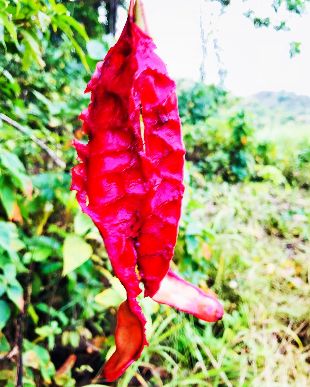 red pod martinique.JPG