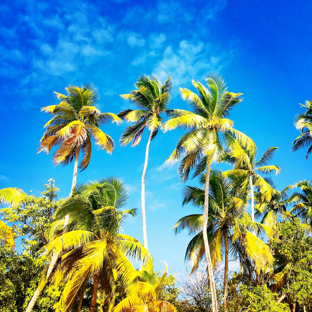 Coconut palms: Grande plage des Salines, Sainte Anne, Martinique