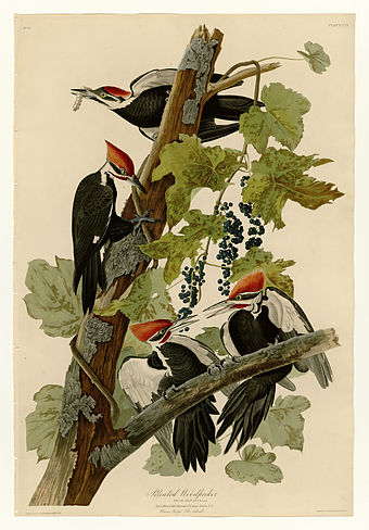 Source: Wikipedia: Plate 111 of the   Birds of America   by  John James Audubon , depicting the pileated woodpecker
