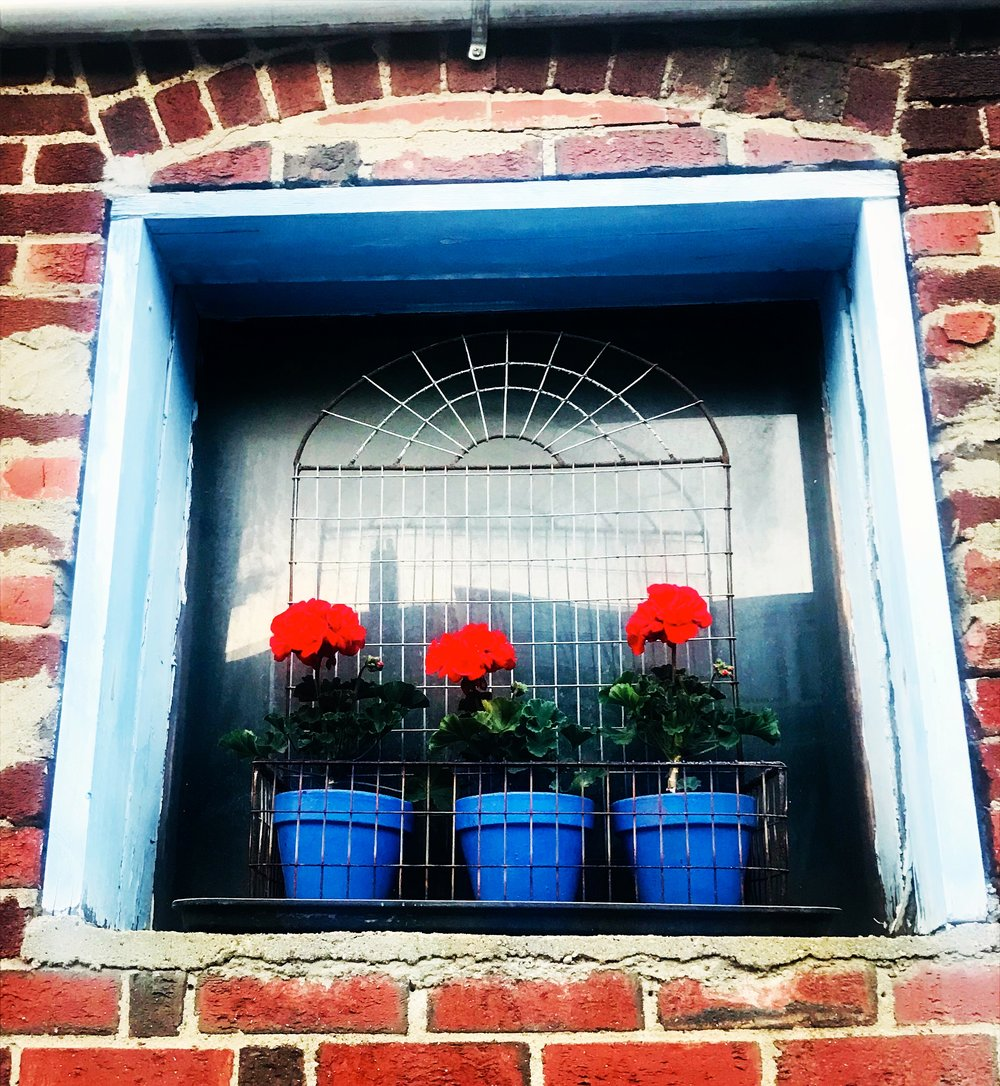Potted geraniums, Cambridge