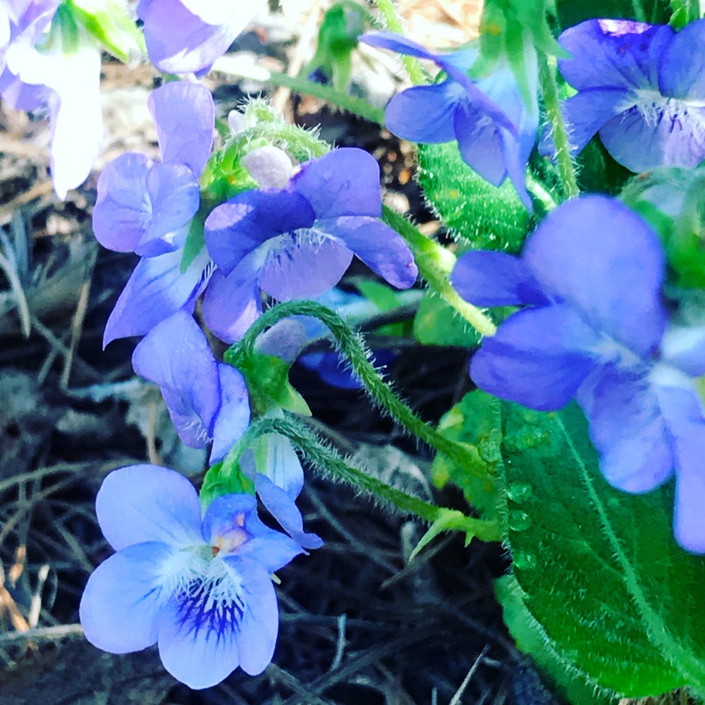 Violets in the woods