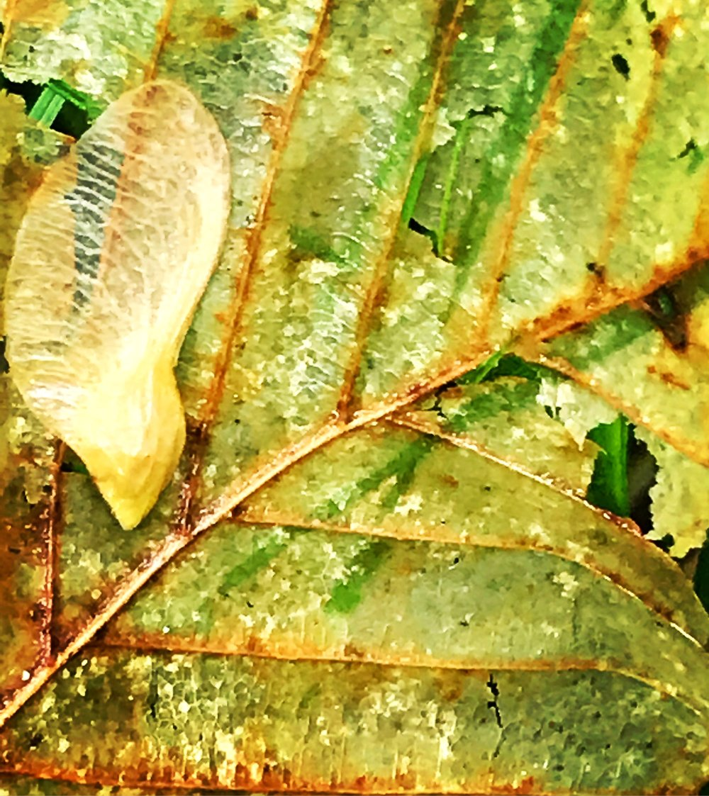 Beech Leaf, Maple Wing
