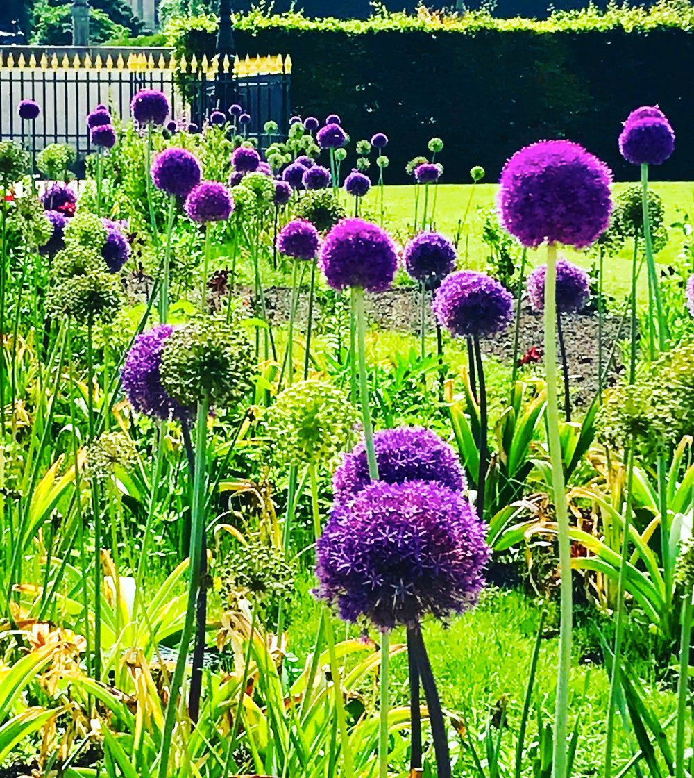 Allium, Jardin des Tuileries