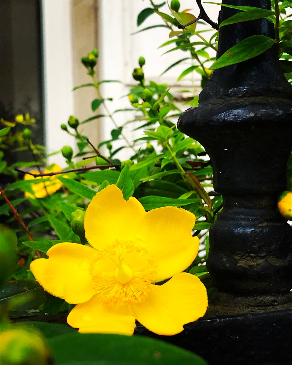 yellow flower paris street.JPG